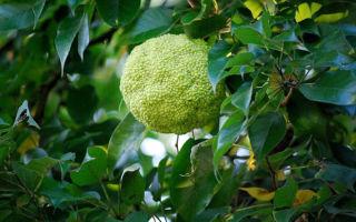 Как лечить суставы адамовым яблоком: рецепты и отзывы